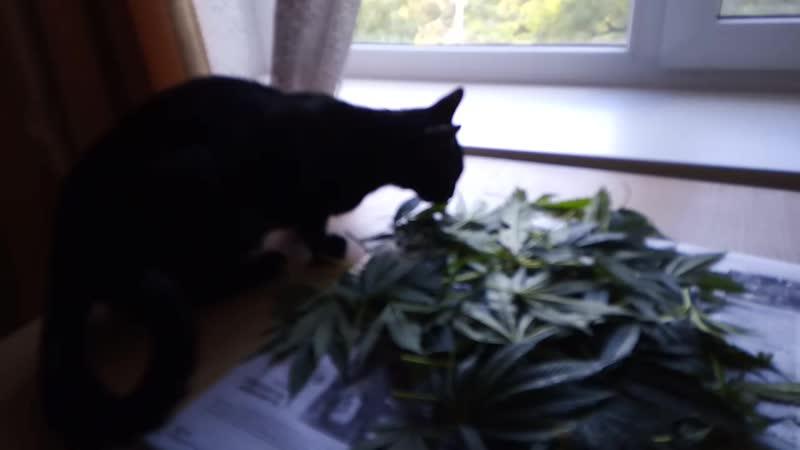Ушлая чёрная сиамская кошка