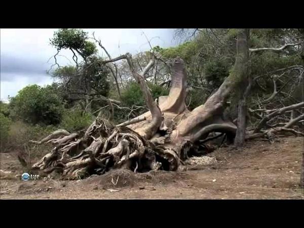 DOM-LAND Порошок из плодов Баобаба. Баобаб – символ здоровья и долголетия.
