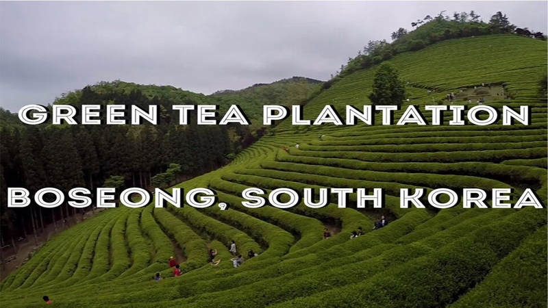 Boseong Green Tea Plantation South Korea 보성녹차밭 대한다원