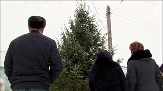 Впоселке Духовницкое новогоднюю елку для центральной площади выбирают научастках местных жителей. Новости. Первый канал