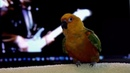 Parrot's got talent · coub коуб