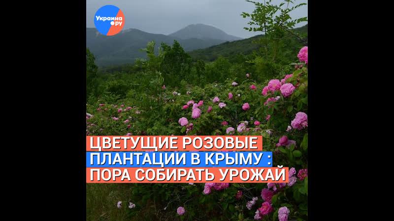 Цветущие розовые плантации в Крыму пора собирать урожай