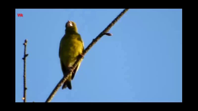 Обыкновенная зеленушка