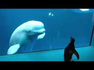 Kак пингвин знакомится с белухами