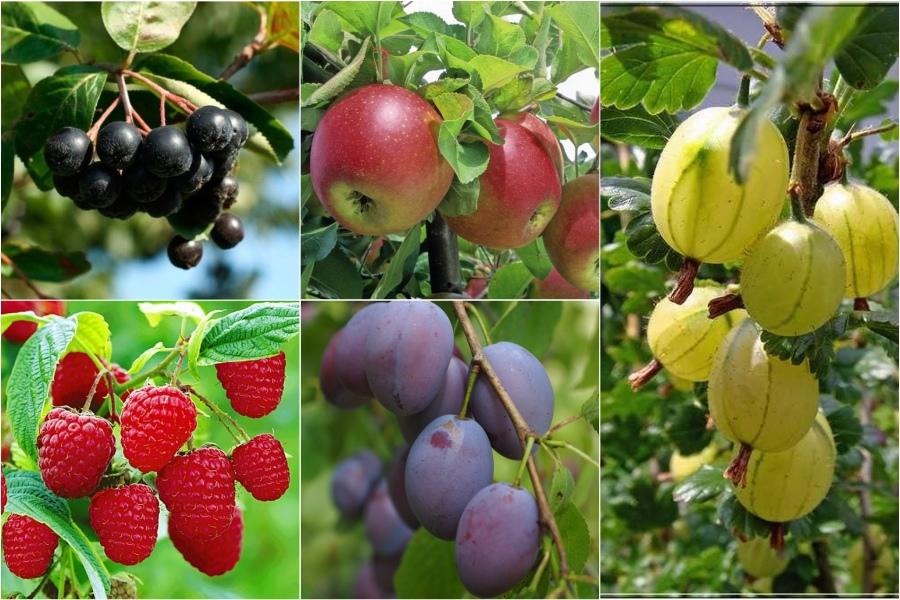 Саженцы ягодных кустарников и фруктовых деревьев