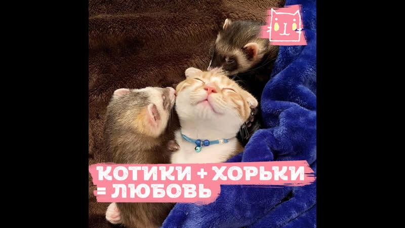 Кошачье хорьковая милота