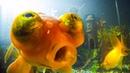 How Do Goldfish Flirt?   Pets: Wild At Heart   BBC Earth