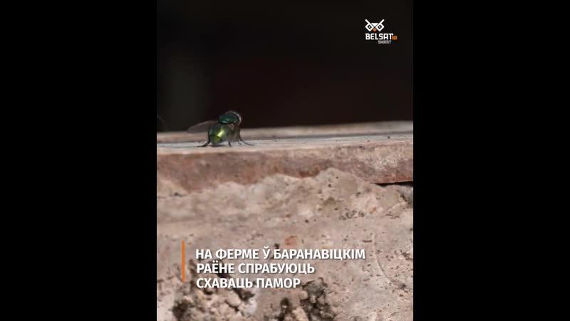 На ферме ў Баранавіцкім раёне спрабуюць схаваць памор быдла