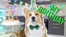 CORGI S 5th BIRTHDAY PARTY! Topi the Corgi