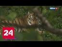 Карнавал в полоску Приморье отметило День тигра Россия 24