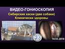 Видео-гониоскопия у сибирских хаски