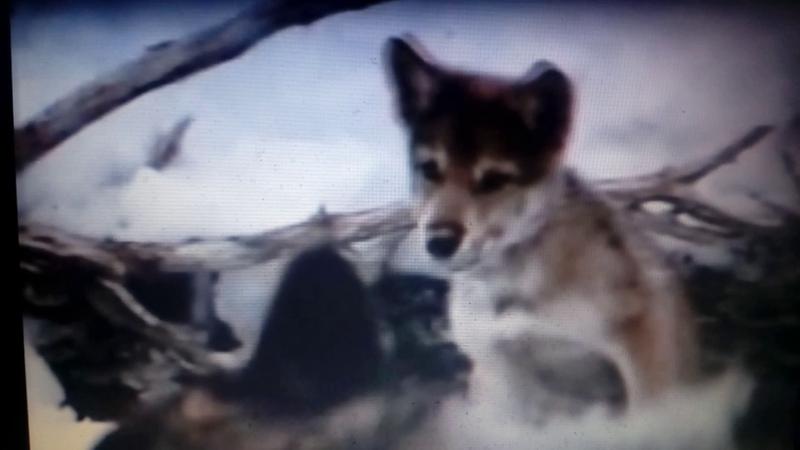 Не стреляйте песня про волчонка и волчицу