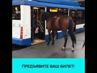 Лошадь пыталась войти в троллейбус на Ленинском проспекте Санкт-Петербурга  Москва 24