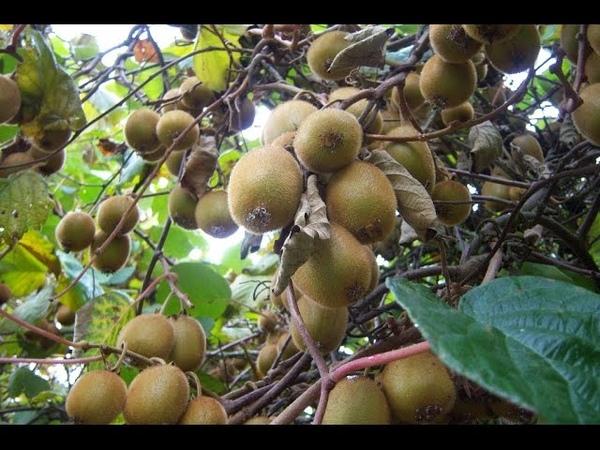 L'actinidia de Chine KIWI culture plantation taille entretien récolte et conservation