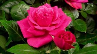 Какая красивая музыка о нежности и любви! Цветы красиво распускаются под музыку!