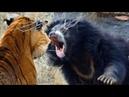 Медведь против Тигра! Версус Змеи, Горностая, Льва и др. диких животных