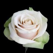 Роза чайно гибридная Ла Перла
