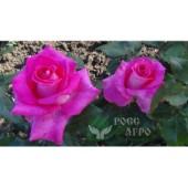 Роза чайно гибридная Большой пурпур