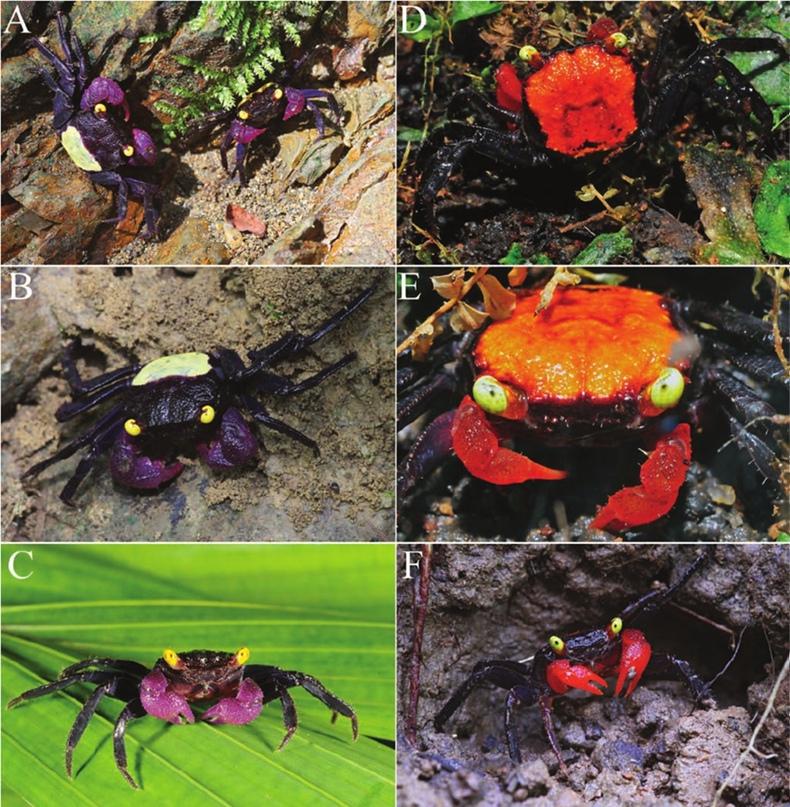 "фото из «New species of ""vampire crabs"" (Geosesarma De Man, 1892) from central Java, Indonesia, and the identity of Sesarma (Geosesarma) nodulifera De Man, 1892 (Crustacea, Brachyura, Thoracotremata, Sesarmidae)», авторы Peter K. L., Christoph D. Schubart & Christian Lukhaup"