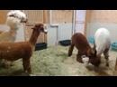 Два альпака устроили драку в японском Центре дружбы животных