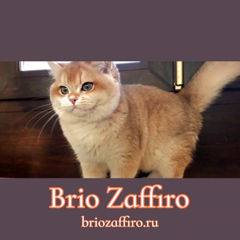 Золотая британская шиншилла Viva Brio Zaffiro
