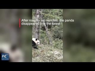 Жители уезда Баосин встретили на дороге большую панду