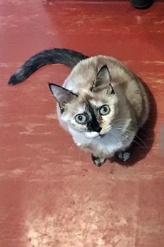 Пропала Кошка, район Шуист. некрупная, 3 года, голубые глаза