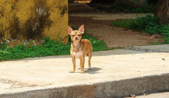 Самые маленькие породы собак, изображение №1