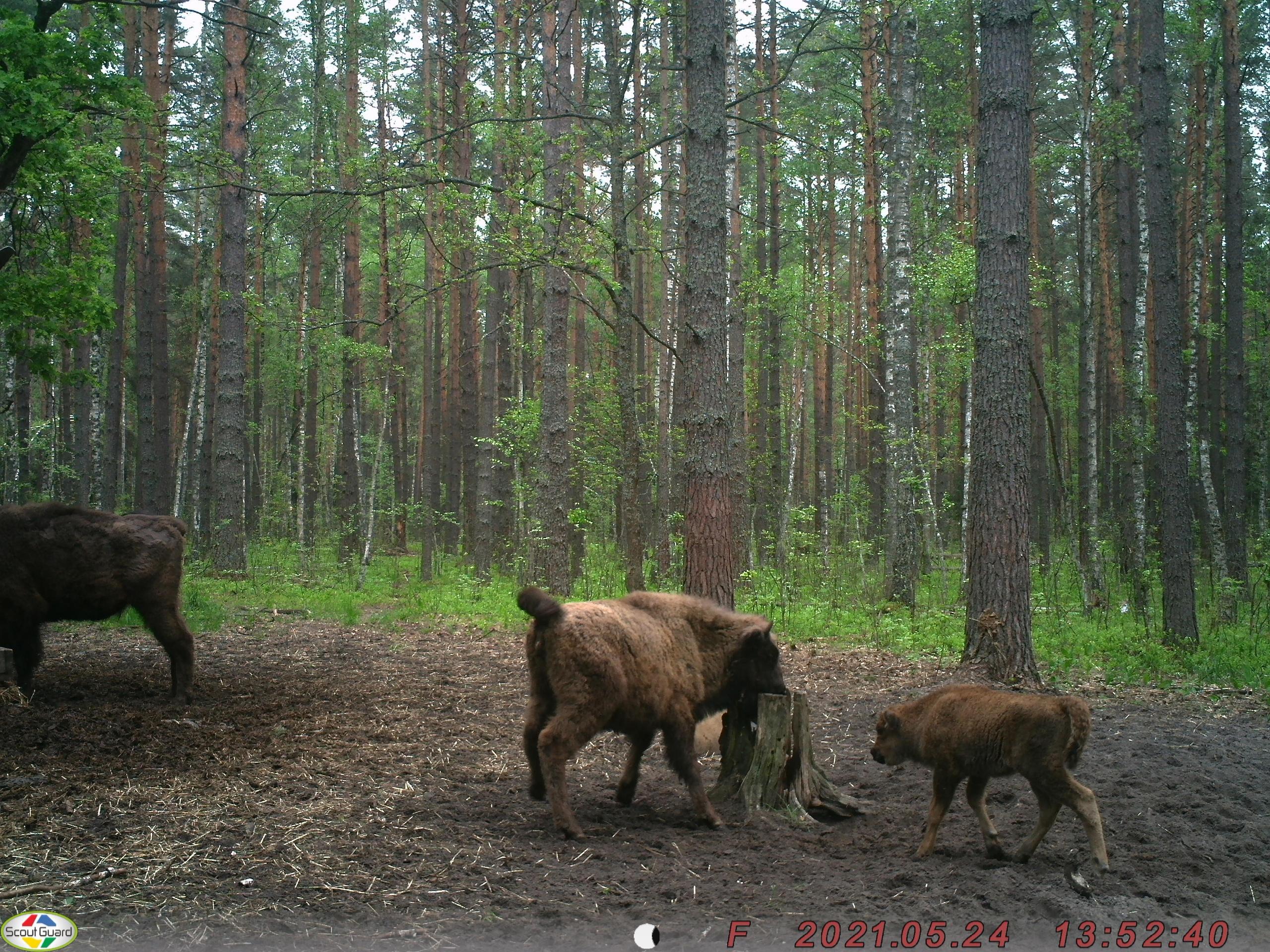 В Брянске сфотографировали новорождённых зубрят (фото)