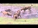 Жестокие бои диких животных
