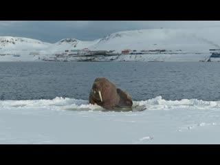 Импозантные моржи на архипелаге Шпицберген