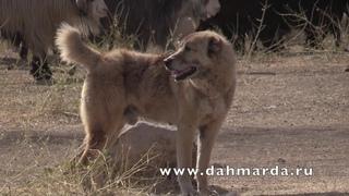 Причины конфликтов среди Аборигенных САО Таджикистана Саги дахмарда и оправданны ли собачьи бои?!
