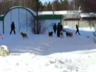 Дикие собаки в Печоре бросаются на людей