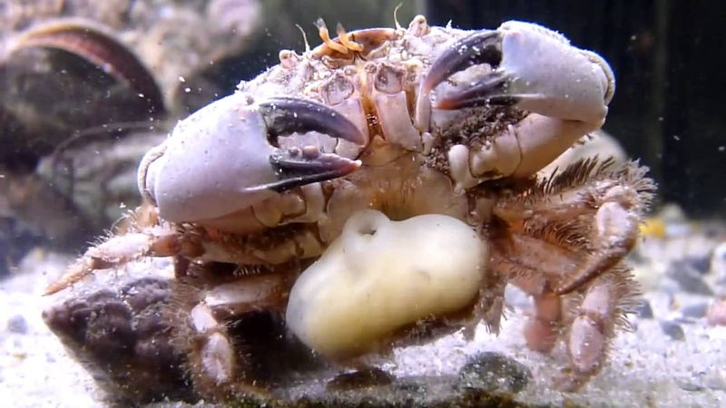 Sacculina carcini in a crab from southwest Ireland