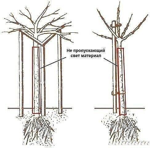 Крыжовник и смородина штамбом Все чаще сейчас выращивают смородину и крыжовник не кустиками, а в штамбовой форме. А это, судя по откликам и некоторому личному опыту, дает весомые преимущества
