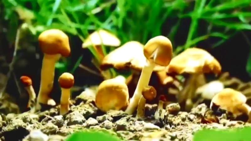 Неразгаданные тайны грибов Документальный фильм 2019